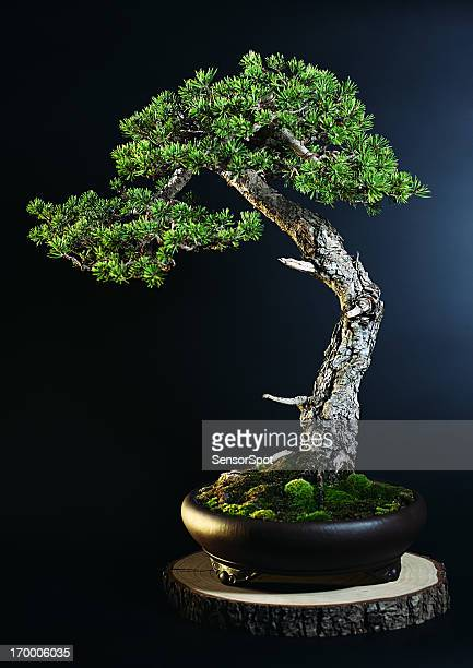 pine tree bonsai - bonsai tree stock pictures, royalty-free photos & images