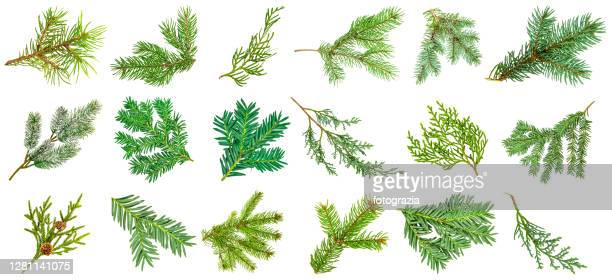 pine tree branches collection isolated on white - 針状葉 ストックフォトと画像