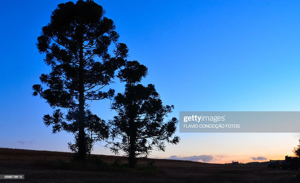 Pine tree Brazil : Stock Photo