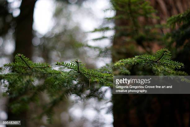 pine tree close-up - gregoria gregoriou crowe fine art and creative photography stock-fotos und bilder