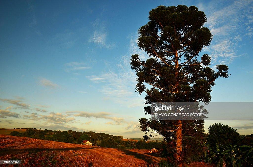 Pine tree farm Brazil : Foto de stock