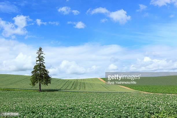 Pine tree, fields and sky with clouds, Hokkaido