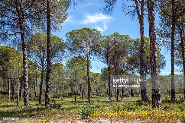 pine tree forest at donana national park - donana national park stock photos and pictures