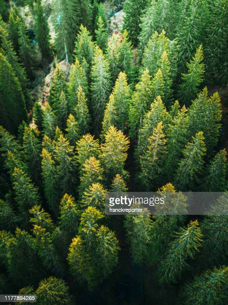 pine tree forest in switzerland - hardwood stock pictures, royalty-free photos & images