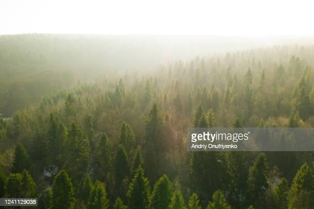 pine tree forest on sunset - wald stock-fotos und bilder