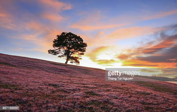 Pine tree in red grass hill