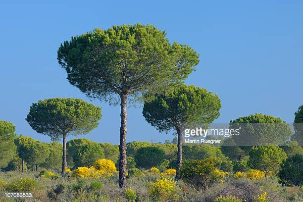 pine tree in spring at donana national park. - donana national park stock photos and pictures