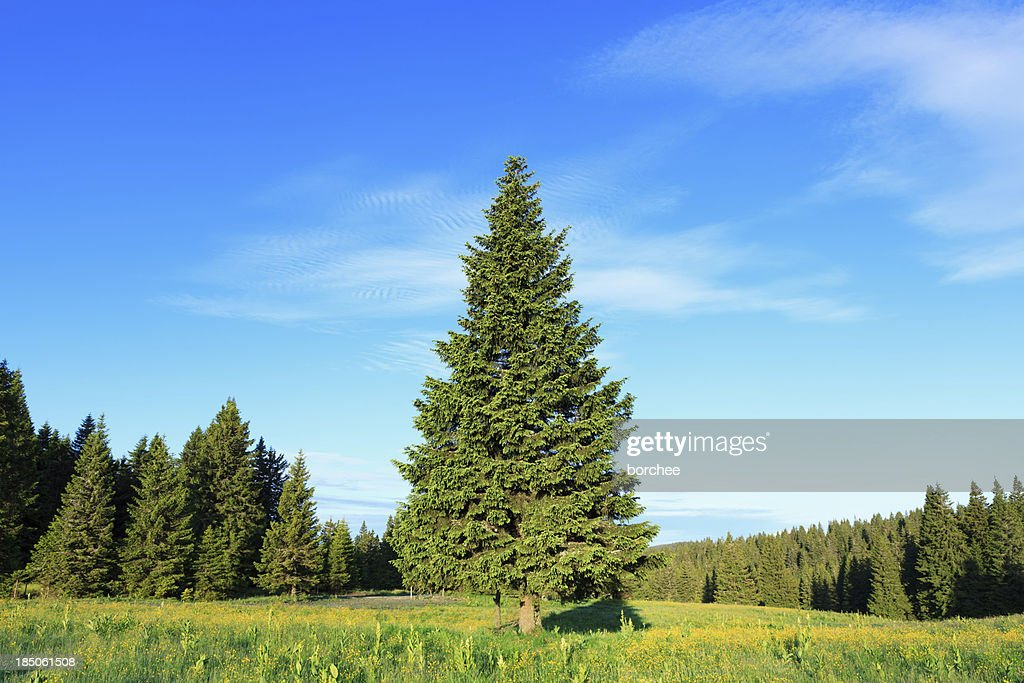spruce tree stock photos and pictures getty images