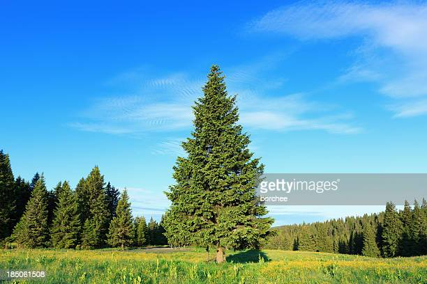 pine tree in spring - spruce tree stock pictures, royalty-free photos & images