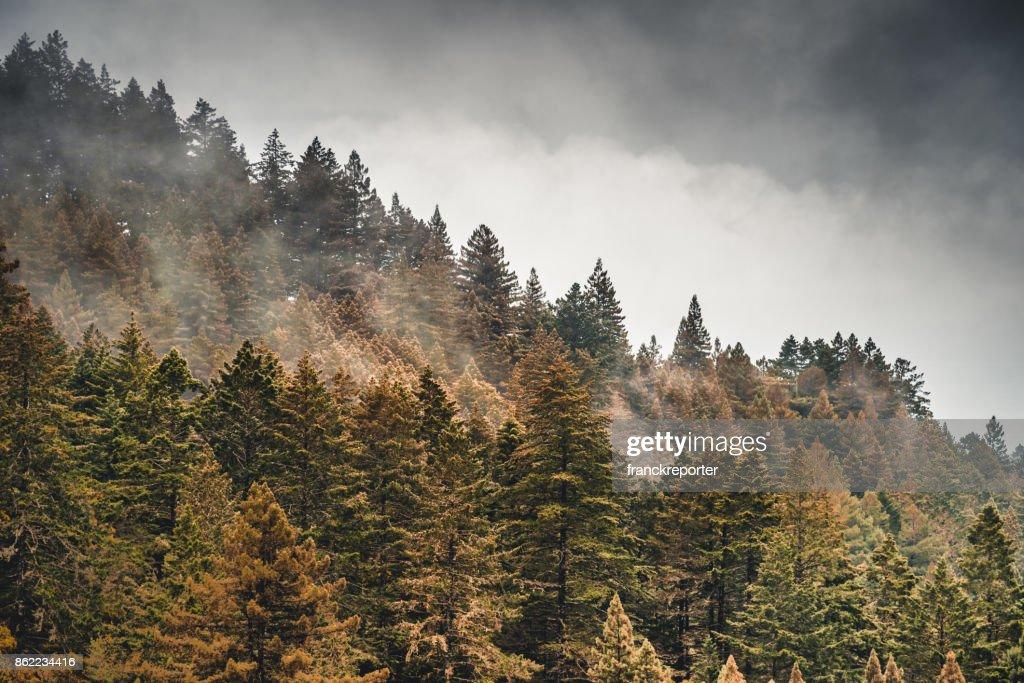 pine tree in the fog in oregon : Stock Photo