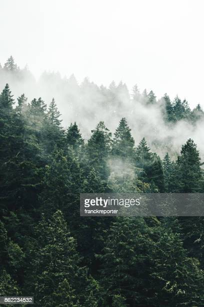 pine tree in the fog in oregon - fog stock pictures, royalty-free photos & images