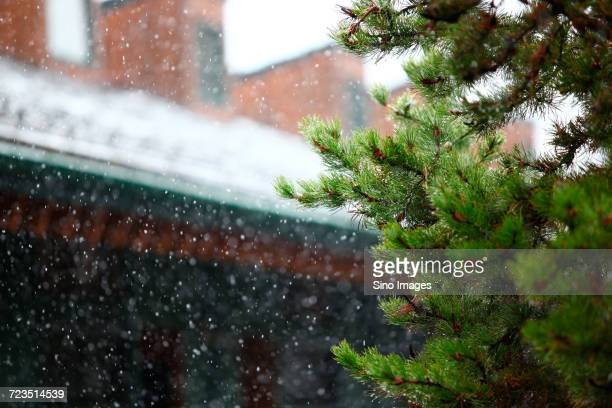 pine tree in winter, canada - image stock pictures, royalty-free photos & images
