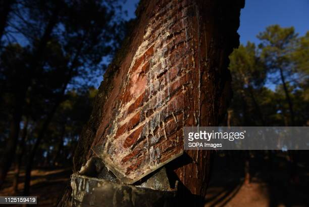 A pine tree is seen dripping resin in a pine forest during the extration close to the village of Tardelcuende north of Spain The extraction of resin...