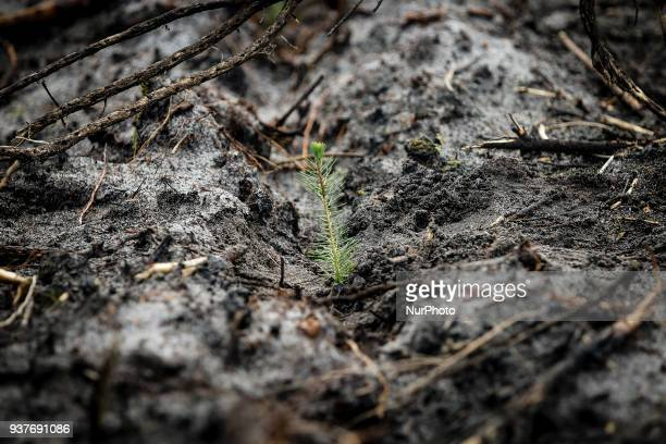 A Pine Tree just planted during the Reforestation of Pinhal de Leiria forest counting with more than 67500 Pine Trees that was donated to be planted...