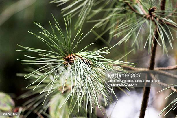 pine tree needles close up - gregoria gregoriou crowe fine art and creative photography fotografías e imágenes de stock