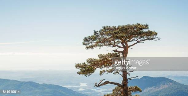 Pine Tree On The Hill