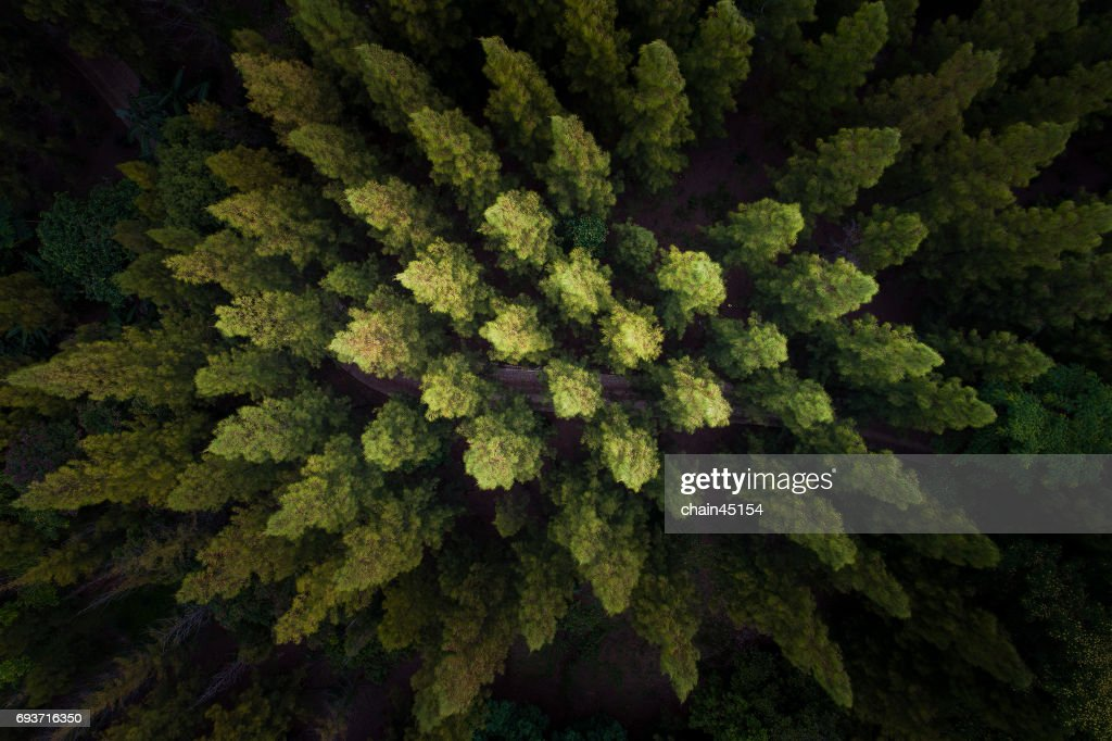 Pine tree on the top view. : Stock Photo