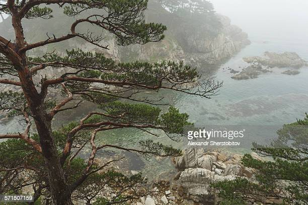 Pine tree over sea