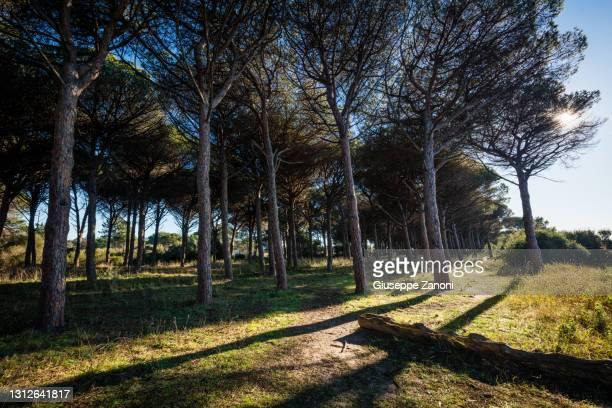 pine tree - orbetello bildbanksfoton och bilder
