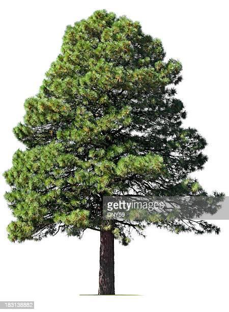 Pino Tree