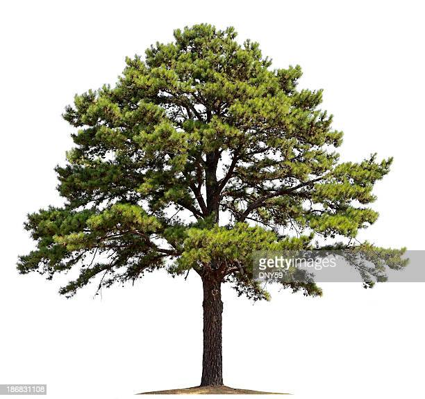 pine tree - single tree stock pictures, royalty-free photos & images