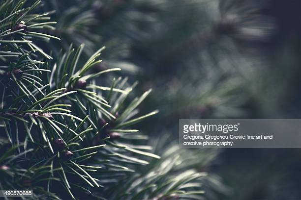 pine tree - gregoria gregoriou crowe fine art and creative photography stock photos and pictures
