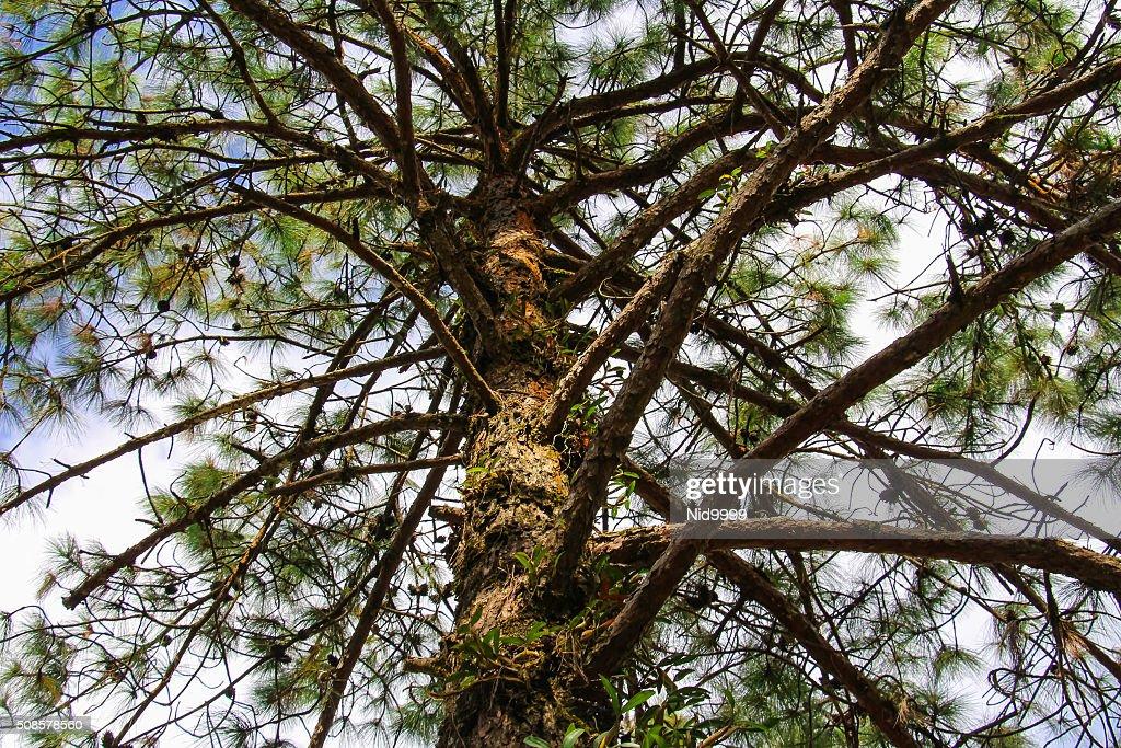 Pine tree. : Stock Photo
