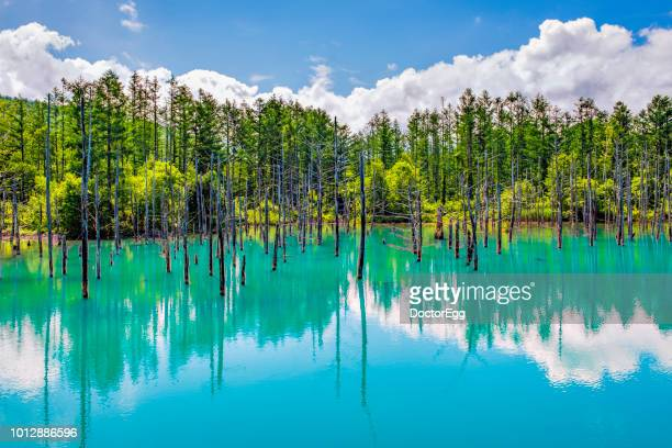 Pine Tree Reflection in Blue Water at Shirogane Blue Pond in Summer, Japan