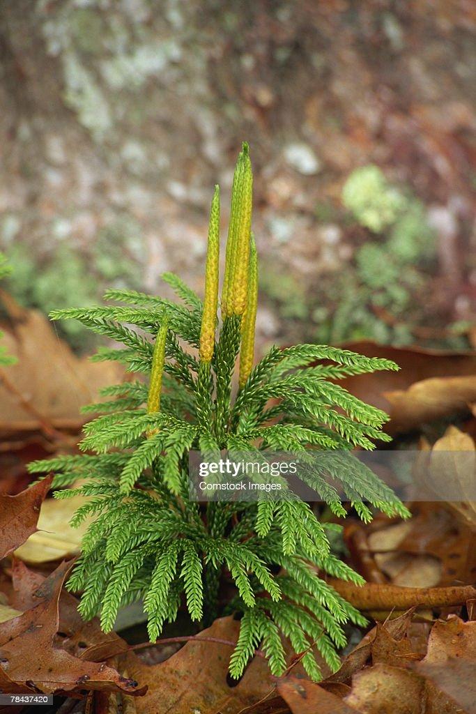 Pine tree seedling : Stockfoto