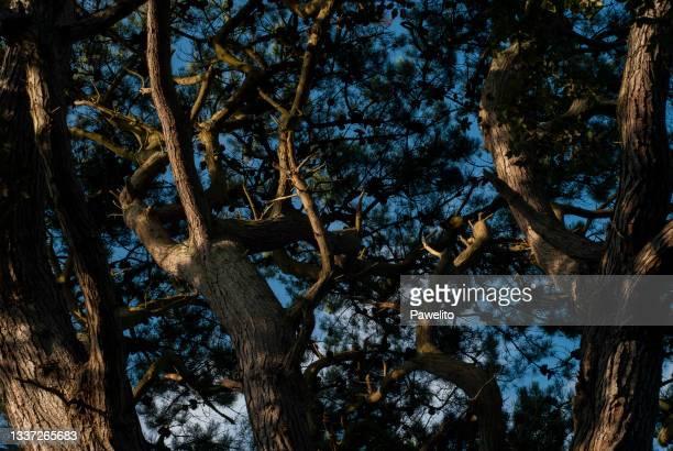 pine tree tops - プール湾 ストックフォトと画像