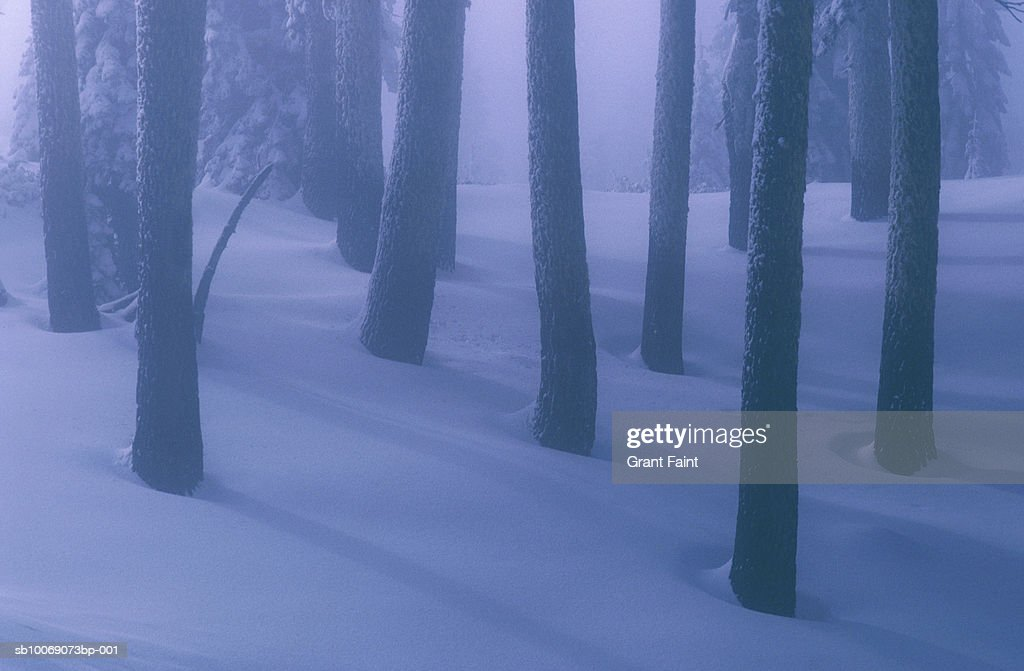 Pine tree trunks in snow covered forest : Stockfoto