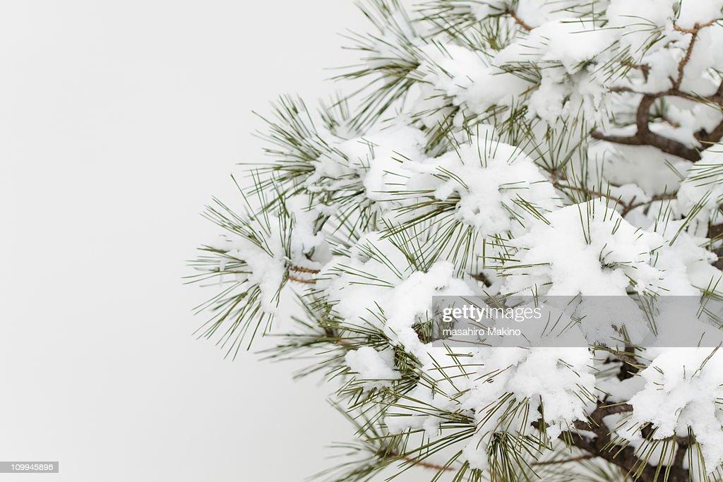 pine tree under snow ストックフォト getty images