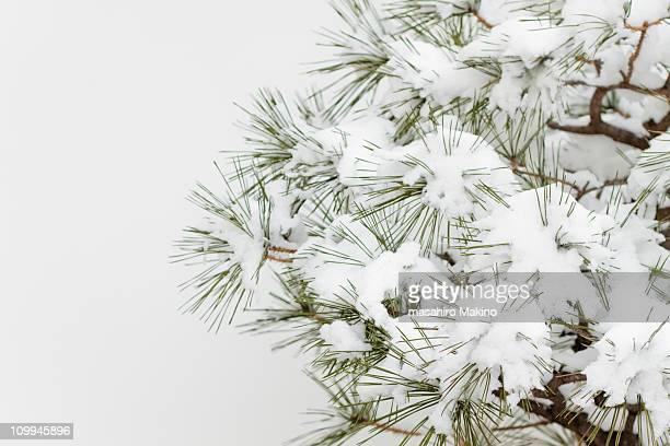 Pine Tree under Snow