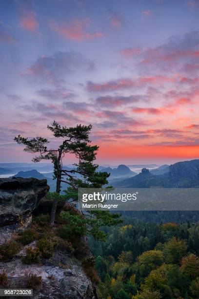 Pine tree with view to the mountain Winterstein and the Hinteres Raubschloß in the Kleinen Zschand seen from the Gleitmannshorn at sunrise / dawn. Kleiner Zschand, Hinteres Raubschloß, Gleitmannshorn, Winterstein, Elbe Sandstone Mountains, Saxon Switzerl