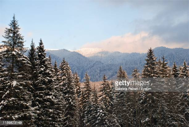 pine trees against sky during winter - gabriela stock pictures, royalty-free photos & images