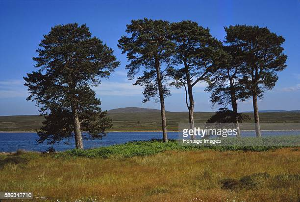 Pine Trees at Loch Ashie 6 miles south of Inverness Invernessshire 20th century A spectral army is said to appear on the shores of the loch at dawn...