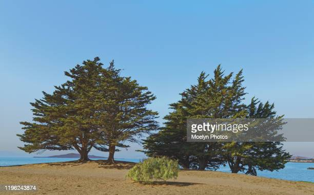 pine trees at point isabel dog park - east bay regional park stock pictures, royalty-free photos & images