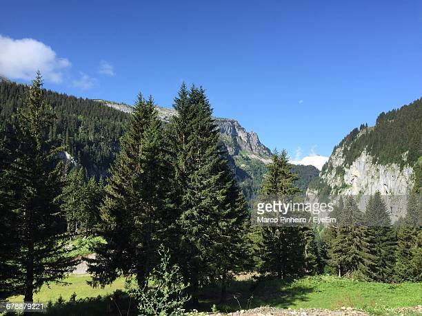 Pine Trees Growing On Grassy Field Against Blue Sky