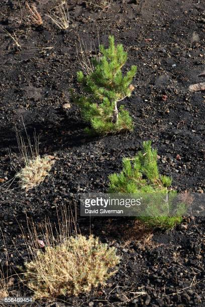 Pine trees have taken root in the 2002 lava flow on the northern slope of Mt Etna volcano Europe's largest and most active on September 21 2017 in...