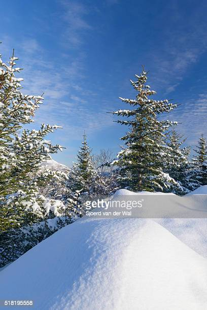 Pine trees in a winter landscape