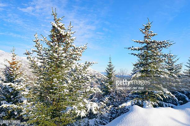 "pine trees in a winter landscape - ""sjoerd van der wal"" stock-fotos und bilder"