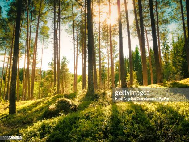 pine trees in forest against bright sun - forest stockfoto's en -beelden