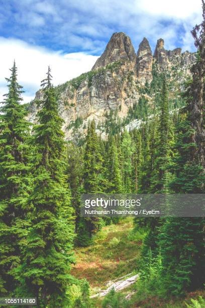 pine trees in forest against sky - pinaceae stock pictures, royalty-free photos & images