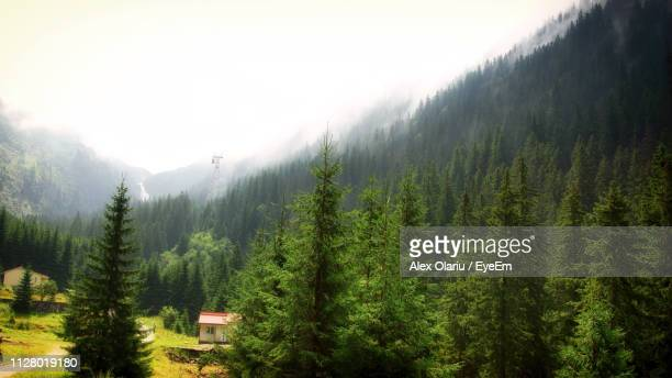 pine trees in forest against sky - alex olariu stock photos and pictures