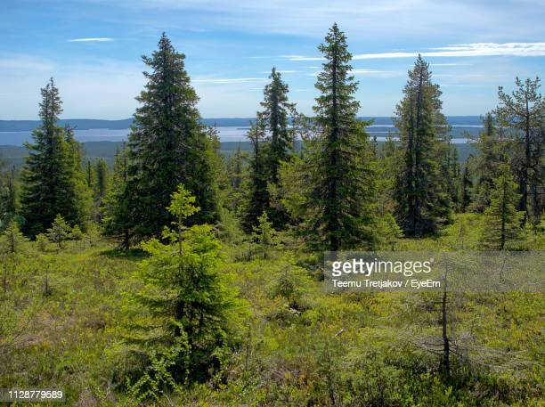 pine trees in forest against sky - teemu tretjakov stock pictures, royalty-free photos & images