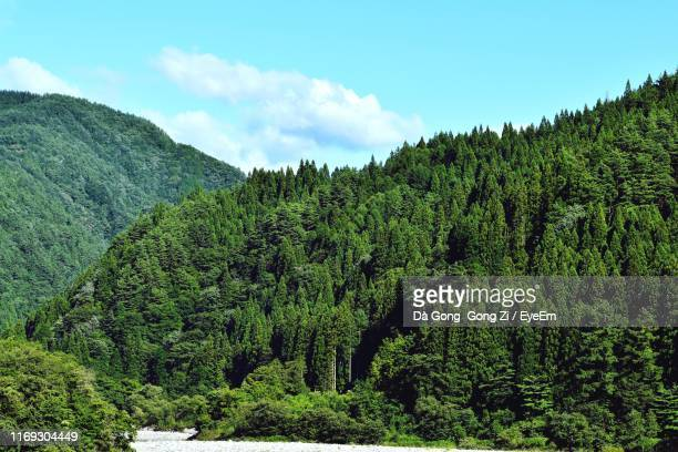 pine trees in forest against sky - 山 ストックフォトと画像