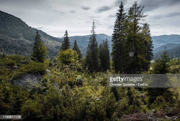pine trees in forest against sky - christian soldatke stock pictures, royalty-free photos & images