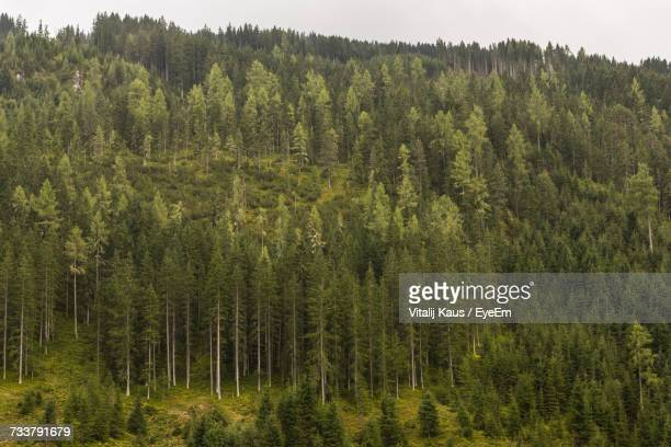 Pine Trees In Forest Against Sky