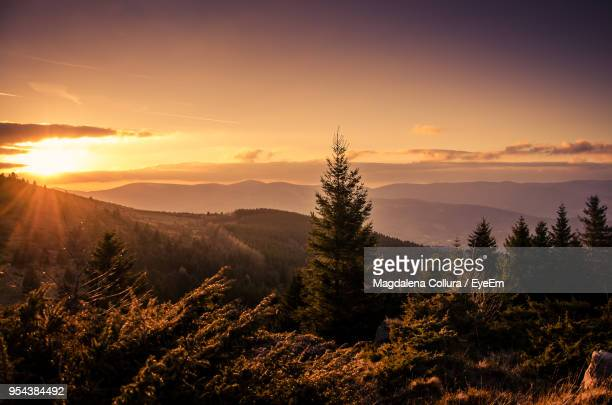 pine trees in forest during sunset - lorraine stock pictures, royalty-free photos & images