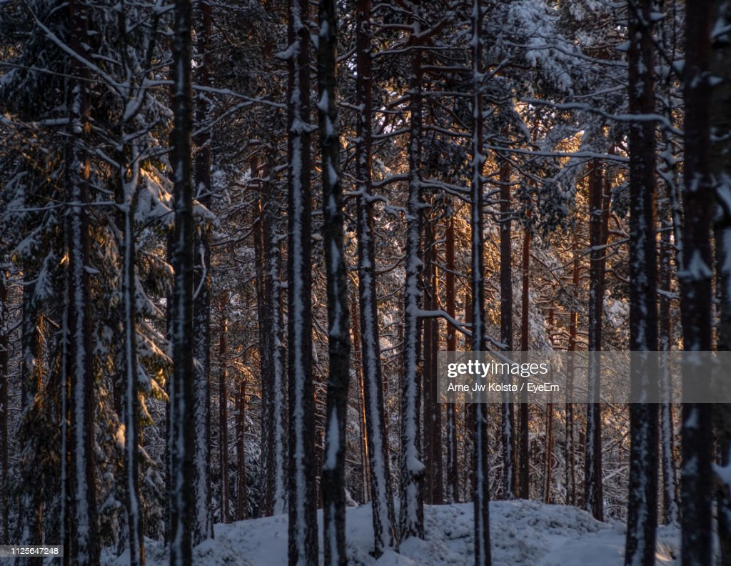 Pine Trees In Forest During Winter : Stock Photo
